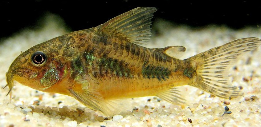 1024px-Corydoras_paleatus_in_current