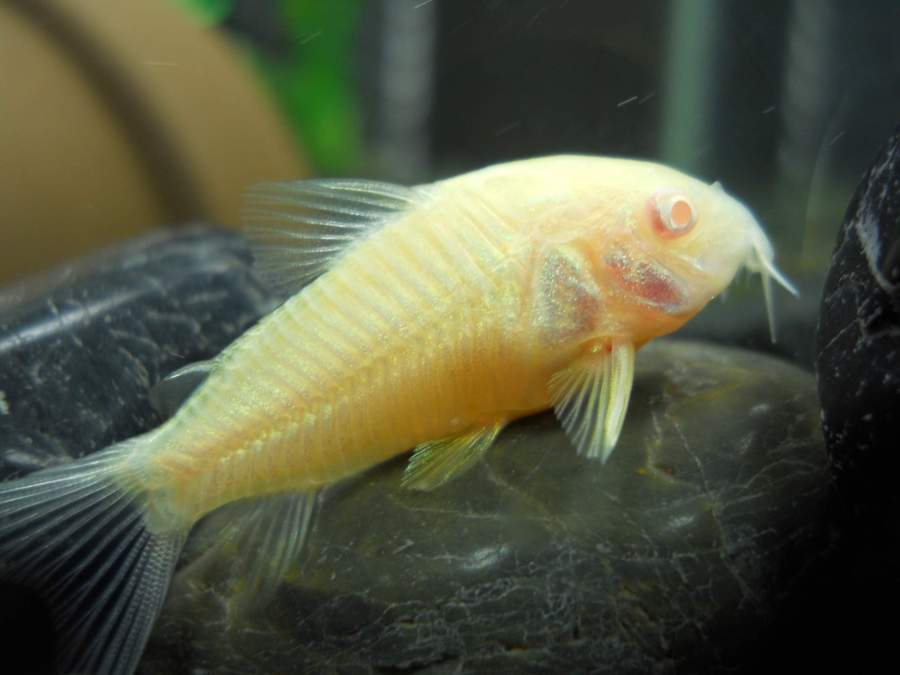 90960d1342559002-does-albino-cory-cat-look-normal-fish-pics-030