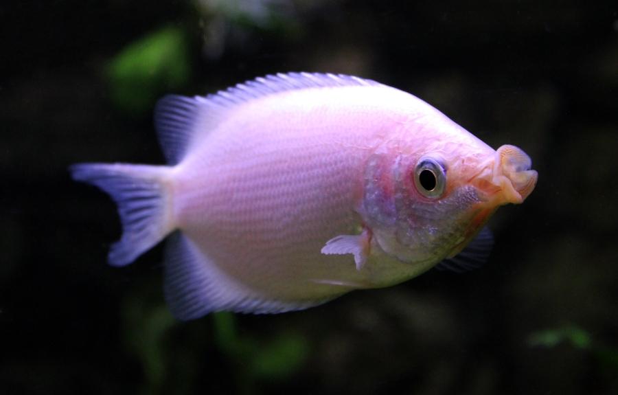 helostoma_temminckii_in_aquarium