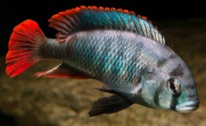 Male Haplochromis Obliquidens