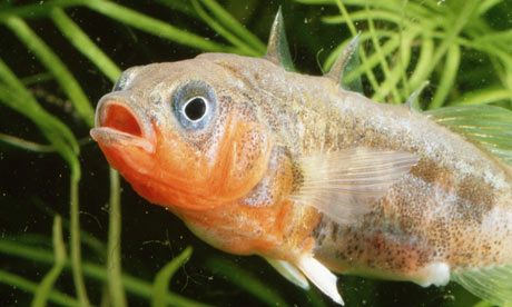 male-stickleback-with-red-001