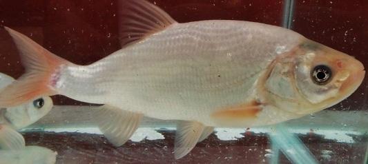 blue-orfe-fish-55662c006dd37