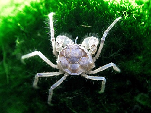 5-live-thai-micro-spider-crabs-limnopilos-naiyanetri-14-to-12-inch-in-diameter-fully-aquatic-by-aquatic-arts-0