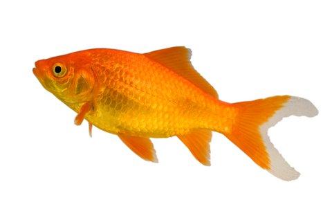 dreamstime_5422385cometgoldfish
