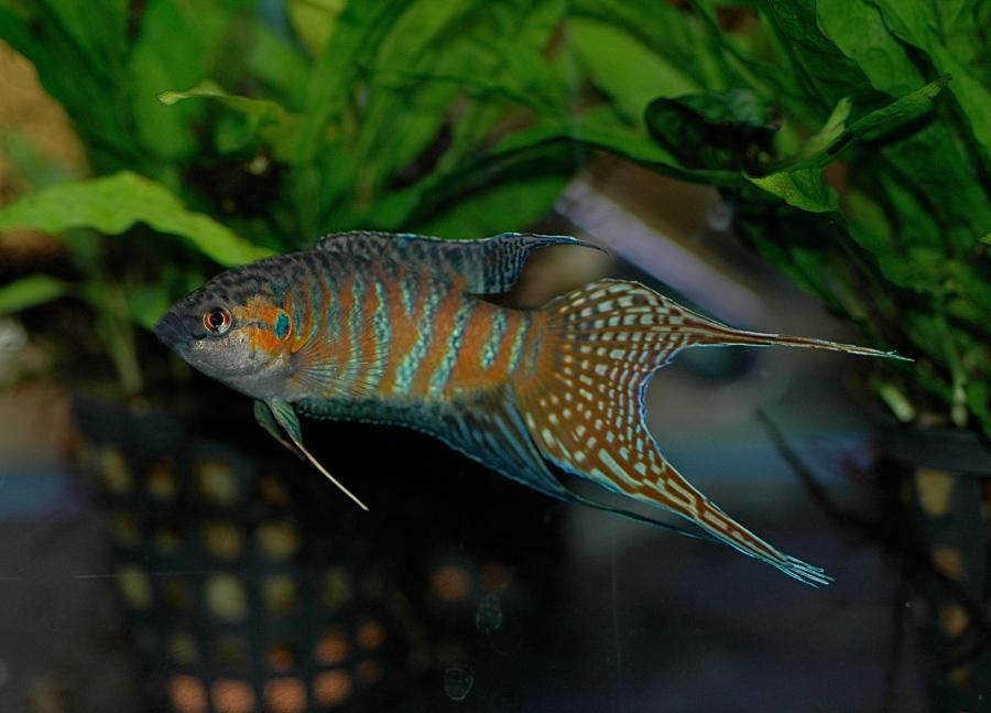 dv_paradise_fish_male_03
