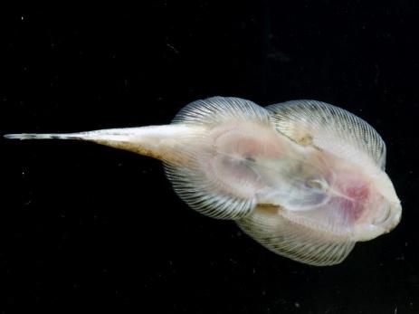 beaufortia-kweichowensis-13