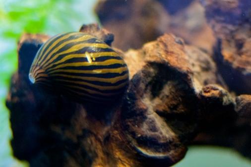 zebra_nerite_snail_1