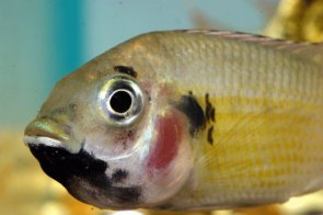 Black-Chinned Tilapia