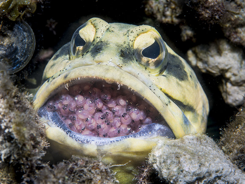 jawfish-mouthbrooding-eggs