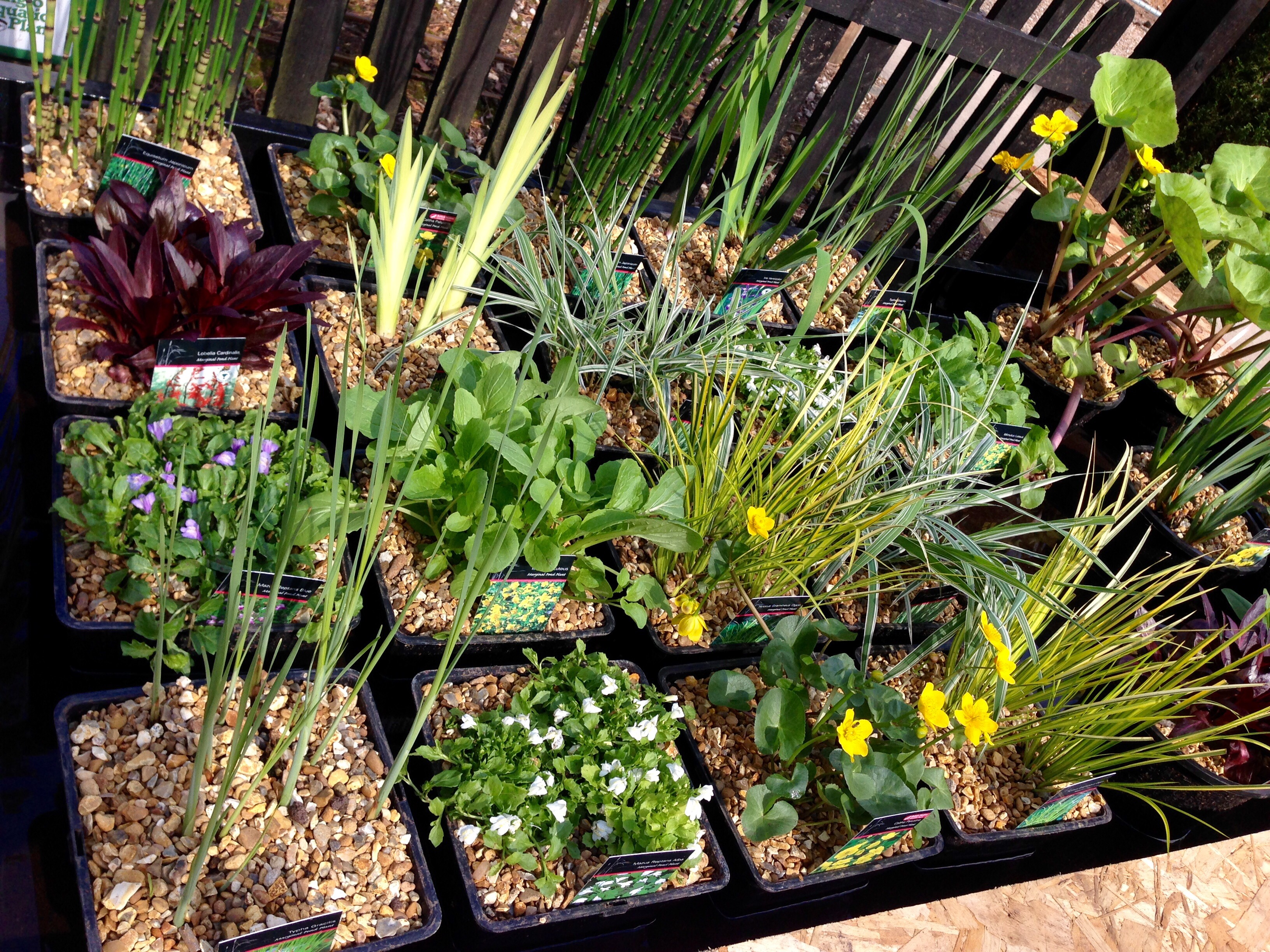 Huge delivery of marginal pond plants 4th april for Marginal pond plants