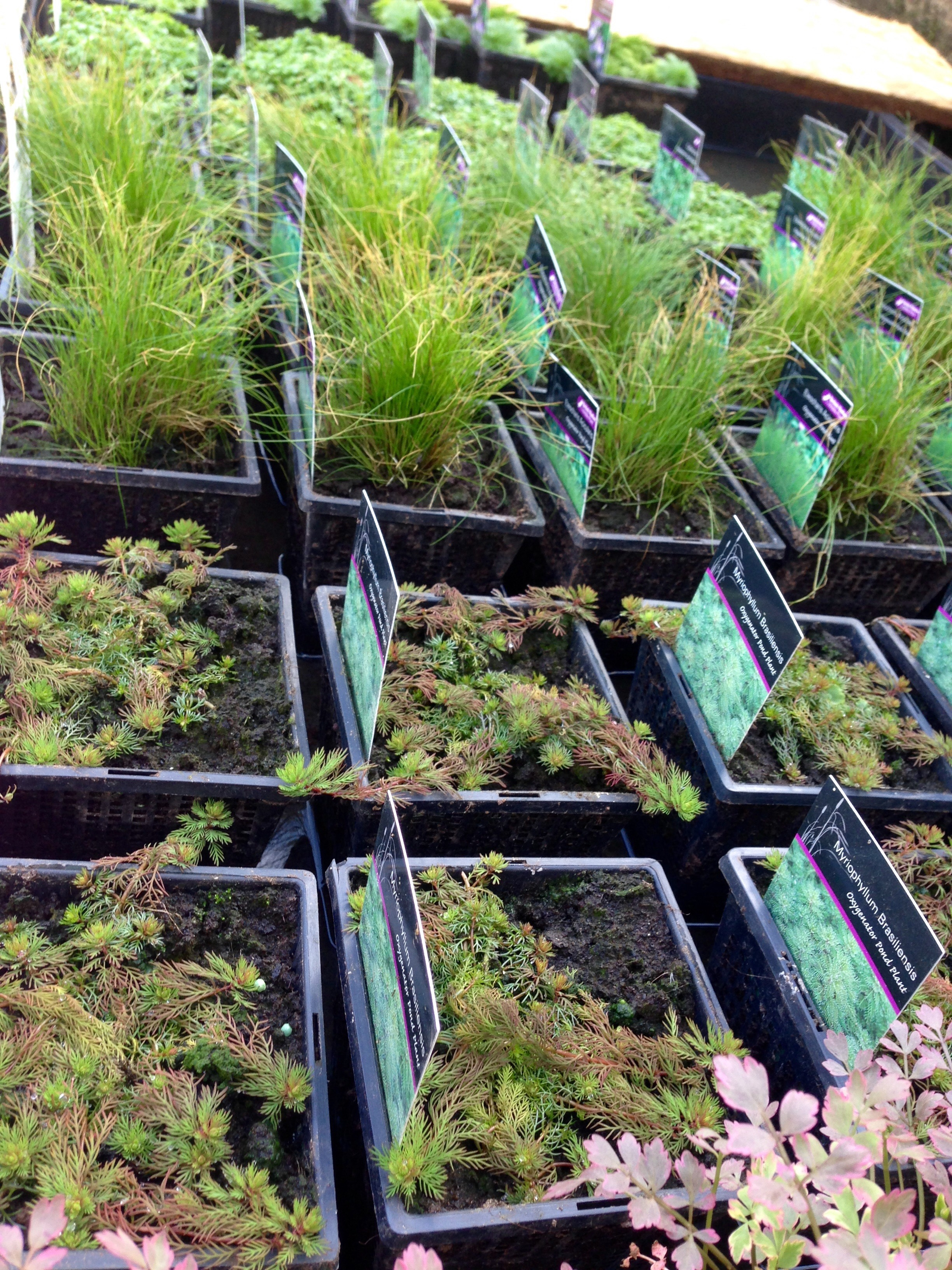 Huge delivery of marginal pond plants 4th april for Oxygenating plants for a small pond