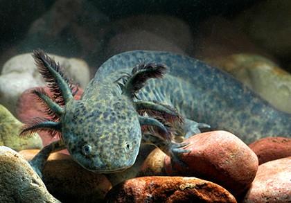 green-axolotl-2140-p