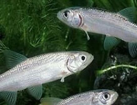 New arrivals coldwater and pond fish 2nd august for Pond stocking fish for sale